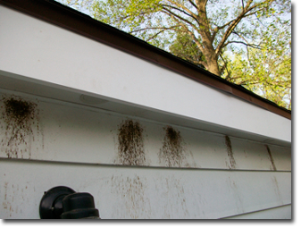 Carpenter Bees in gutter, New Haven Carpenter Bee Removal
