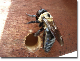 Carpenter Bee Exterminator